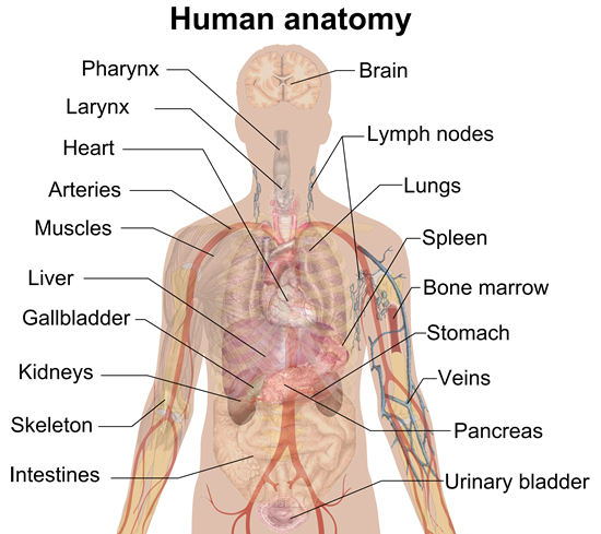 what is anatomy & physiology, Human body